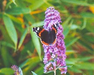 Schmetterling 4